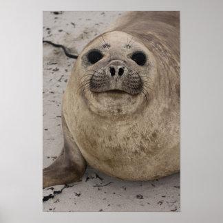 Southern Elephant Seal Mirounga leonina) Poster