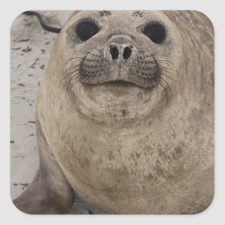 Southern Elephant Seal Mirounga leonina) Square Sticker