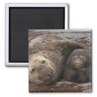 Southern Elephant Seals Mirounga leonina) Fridge Magnets