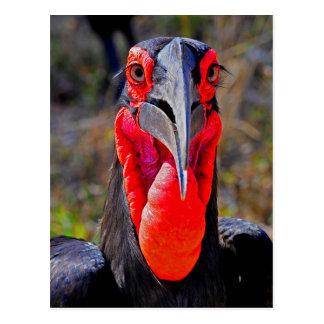 Southern Ground Hornbill Facing Camera Postcard