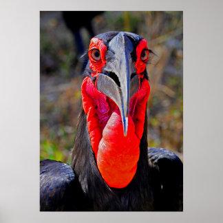 Southern Ground Hornbill Facing Camera Poster
