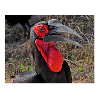 Southern Ground Hornbill Postcard