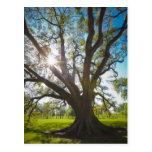 Southern Live Oak Tree Postcard