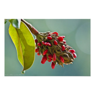 Southern Magnolia Red Seeds in Pod II Poster