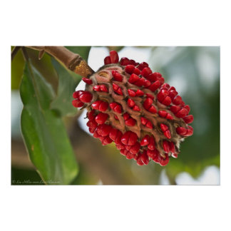 Southern Magnolia Red Seeds in Pod Poster