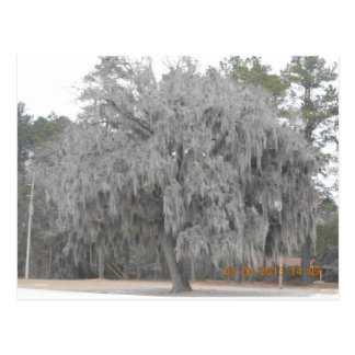 Southern Oak draped with Spanish moss Post Card