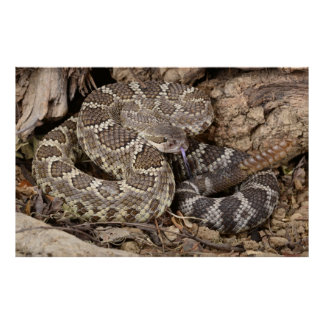 Southern Pacific Rattlesnake. Poster