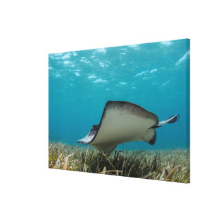 Southern Stingray in Shallows Canvas Print