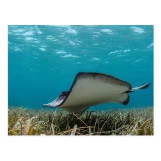 Southern Stingray in Shallows Postcard