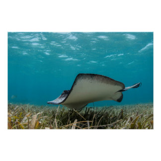 Southern Stingray in Shallows Poster