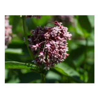 Southern Wormwood (Artemisia abrotanum) Postcard