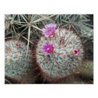 Southwest Flowering Cactus Mammillaria Cacti Poster