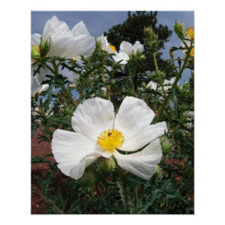Southwestern Prickly Poppy Photograph Poster