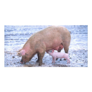 Sow and piglet card