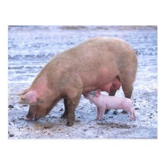Sow and piglet post card