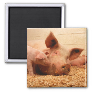 Sow and Piglets 2 Inch Square Magnet