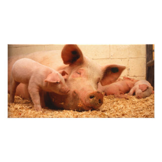 Sow and piglets card