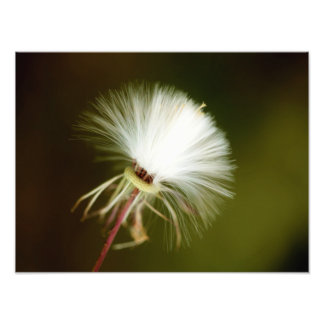 Sow Thistle Seed Pod Photo Print