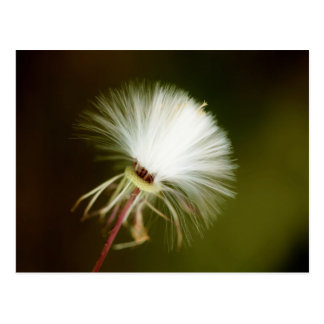 Sow Thistle Seed Pod Postcard