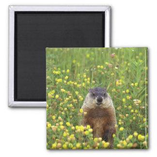 Soy Groundhog Imán Para Frigorifico