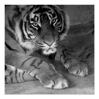 Soy tigre perfect poster