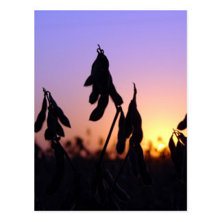 Soybeans at Sunset Postcard