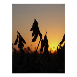 Soybeans at Sunset Poster
