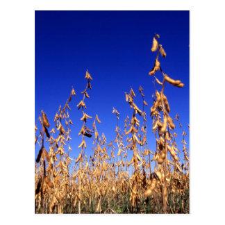 Soybeans Postcard