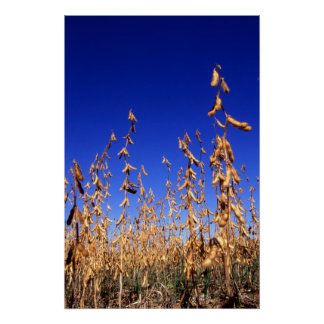 Soybeans Posters