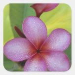 SP de la flor, del Plumeria.), South Pacific, Niue Pegatina Cuadrada