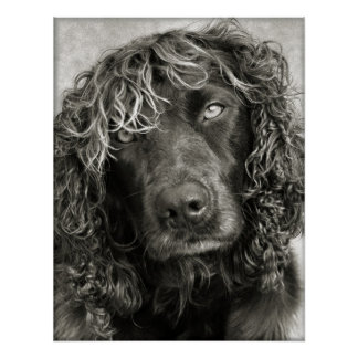 Spaniel with the look of a cover girl poster