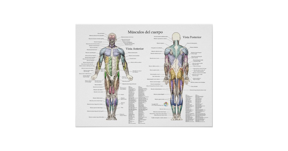 Spanish Human Muscle Anatomy Poster Zazzle