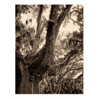 Spanish Moss Adorned Live Oak In Sepia Tones Postcard