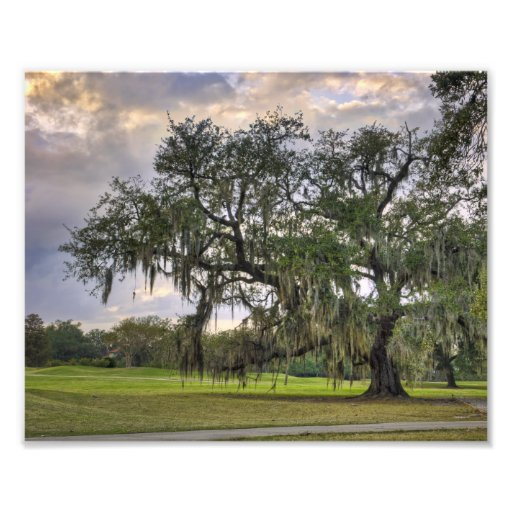 spanish Moss on Live Oak in New Orleans Photograph