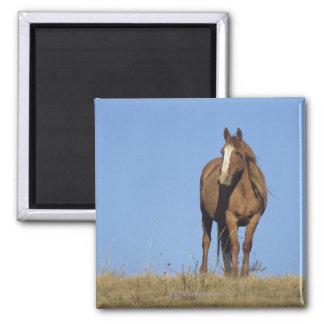 Spanish mustang (Equus caballus), wild horse, 2 Inch Square Magnet