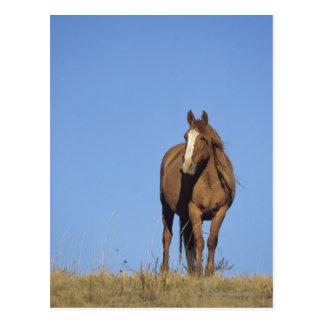 Spanish mustang (Equus caballus), wild horse, Postcard