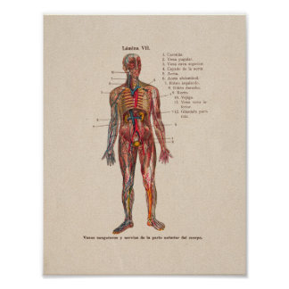 Spanish Vintage Anatomy Print Blood Vessels