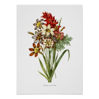 Sparaxis and Ixia spp Poster