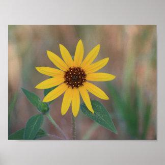 Sparkling Sunflower of Colorado Poster