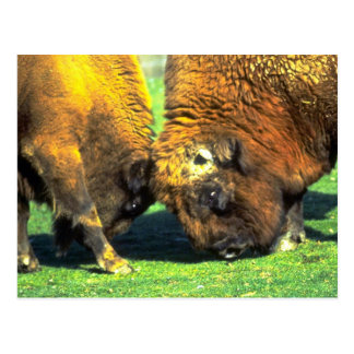 Sparring buffalo postcard
