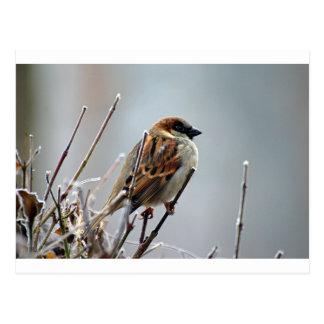 sparrow-bird-animal-nature postcard