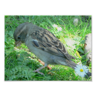 Sparrow bird poster