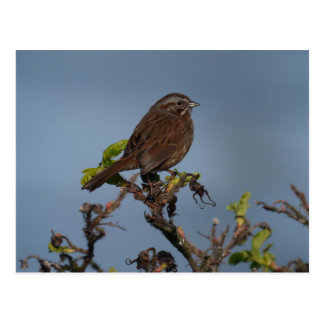 Sparrow Blue Sky Postcard