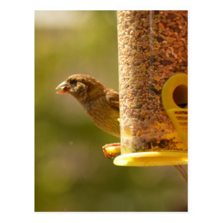 Sparrow eating postcard
