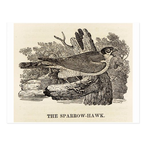Sparrow Hawk Woodcut Postcard