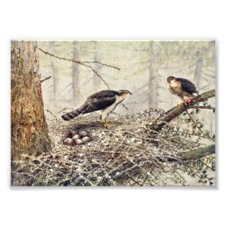 Sparrow Hawks Photo Print