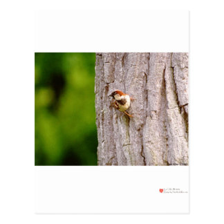Sparrow In Oak Wildlife Photography Gifts & Tees Postcard