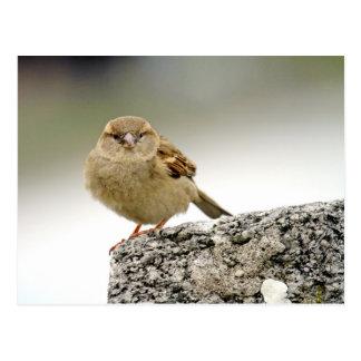 Sparrow portrait postcard