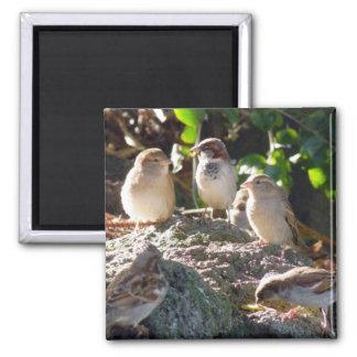 Sparrows Magnet