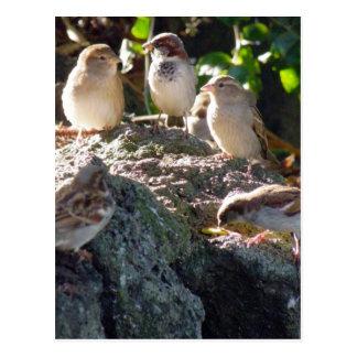 Sparrows Postcard